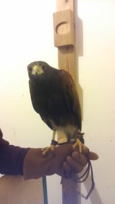 むくどり退治に参加した鷹