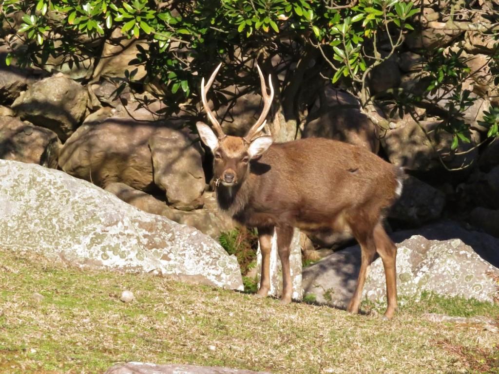 野崎島には現在、人が住んでいないため、あちこちで野生のシカを見る