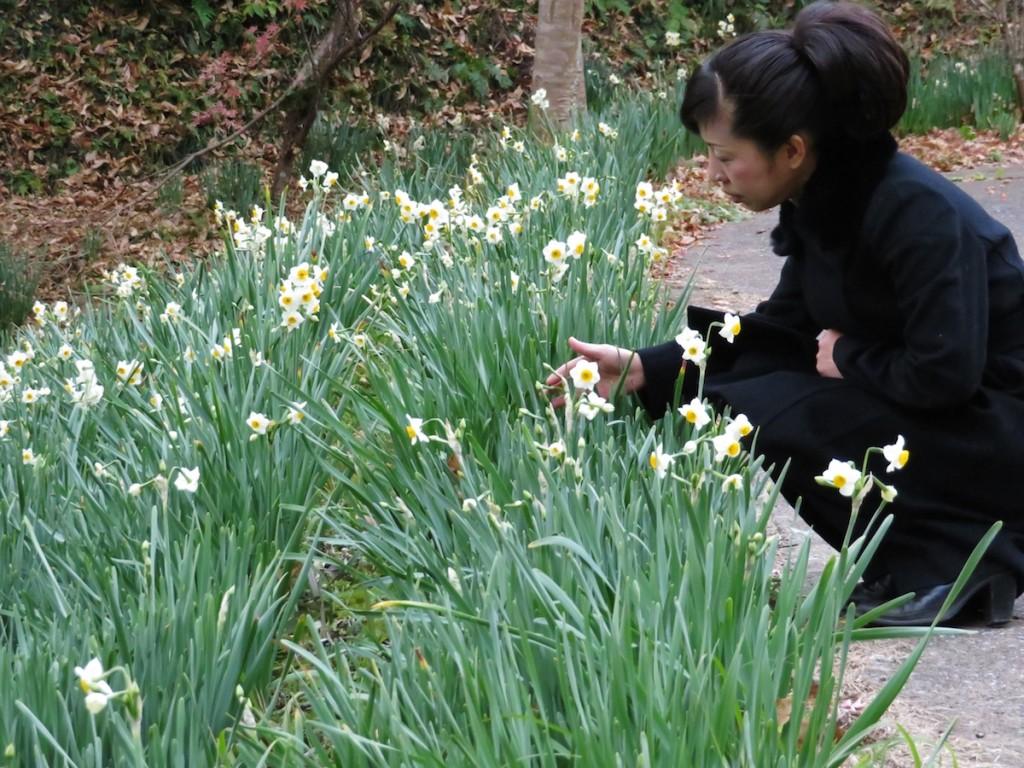 スイセンの花が咲きそろう佐久間ダム親水公園