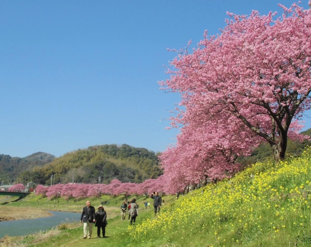 青野川に沿って桜と菜の花の競演が目を楽しませてくれる南伊豆町の「みなみの桜と菜の花まつり」