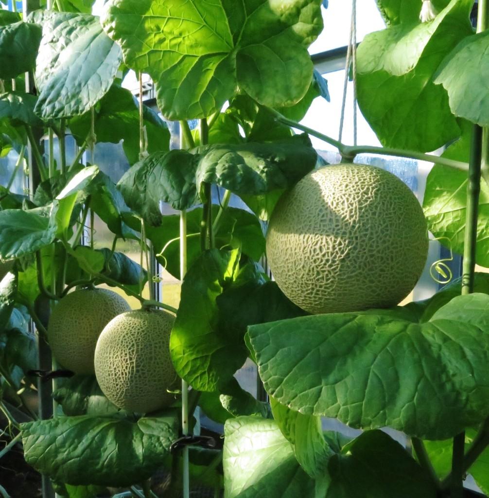 温泉熱を利用してハウス栽培される温泉メロン。冬の時期でもご覧のように糖度の高い大きなメロンが育つ