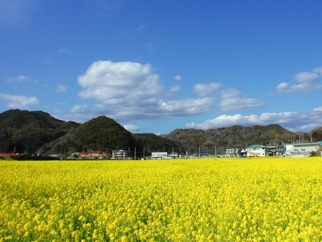 """下賀茂温泉の入り口近くには""""元気な百姓達の菜の花畑""""があり、青空の下で、黄色い菜の花がいっせいに咲く"""