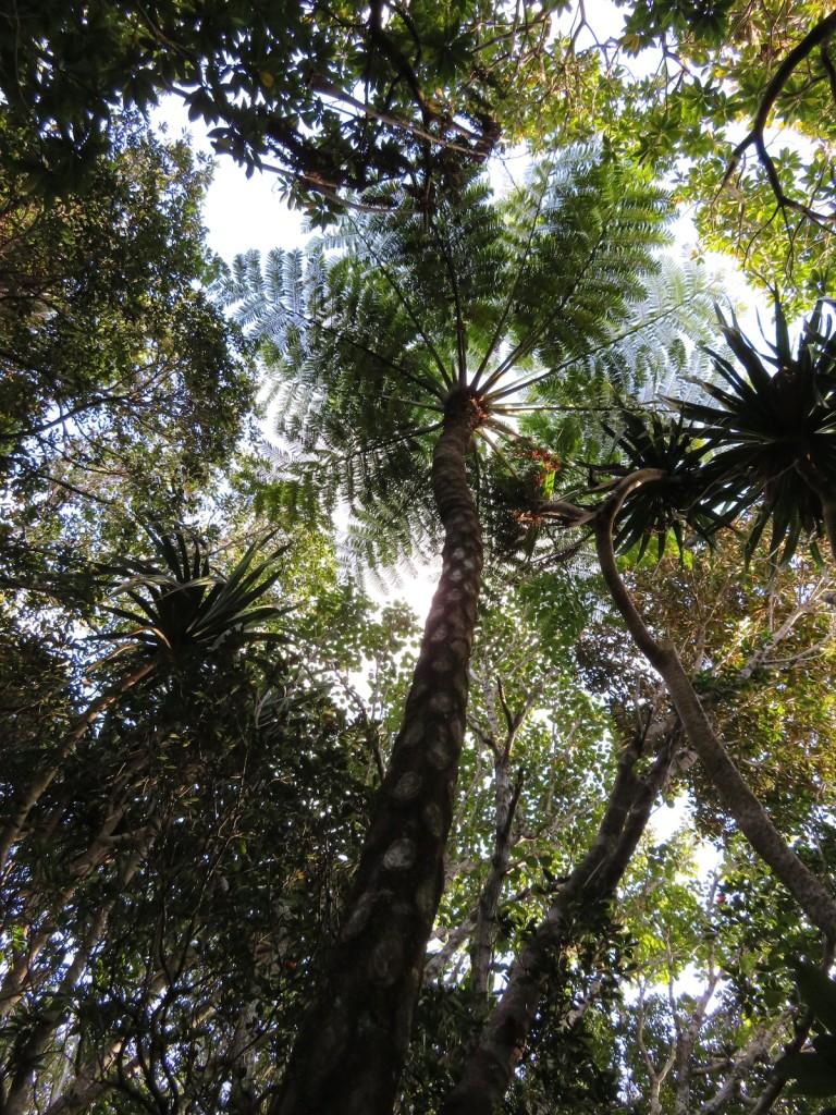 父島の森林には小笠原にしか生息しない固有種が多い。木性シダのマルハチもそのひとつで、葉を空に向けて大きく広げている