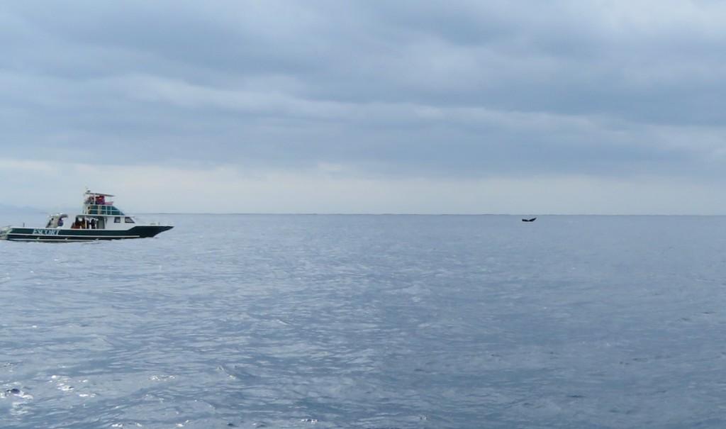 小笠原諸島周辺は5月上旬までザトウクジラが群れ、ホエールウオッチングが楽しめる。沖合に去っていく尾びれが海上に見られた
