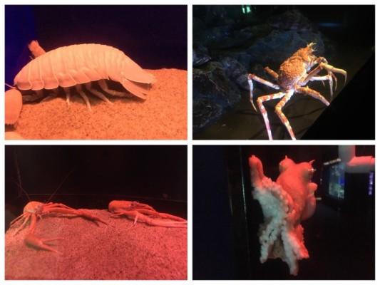 ▲ダイオウグソクムシ(左上)、オオコシオリエビ(左下)、タカアシガニ(右上)、ツチモチダコ(右下)
