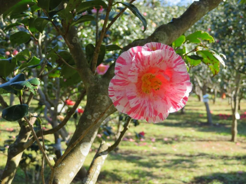 今年で62回目を迎えた伊豆大島の椿まつり。およそ300万本の椿が咲き乱れ、島を彩る