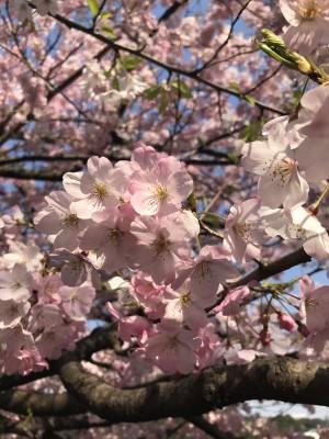 ジンダイアケボノ 花ごとにピンクのグラデーションが違います!きれい!!