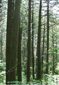 貴重な木曽ヒノキが保護されています。