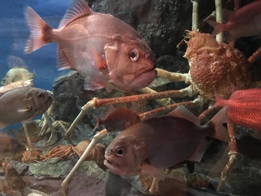 これが水族館で泳ぐ、深海魚のハシキンメ。