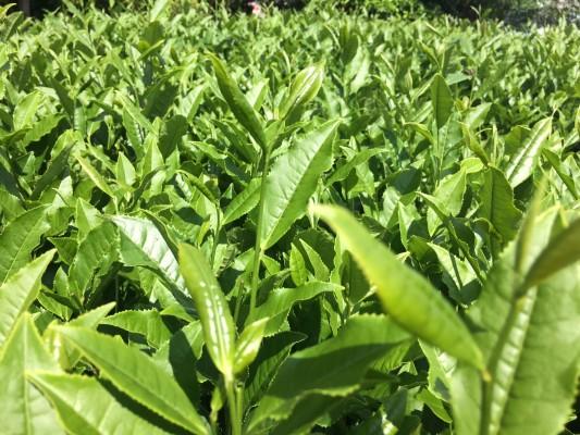 ▲この艶に日光が反射するため茶畑での作業は日焼けが大変