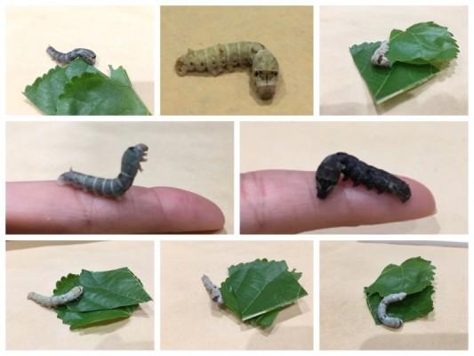 ▲8種類の蚕。(上中央)からだが黄味がかった「黄浮」(中央左)のけぞる「白卵油」(中央右)限性黒色蚕のメス