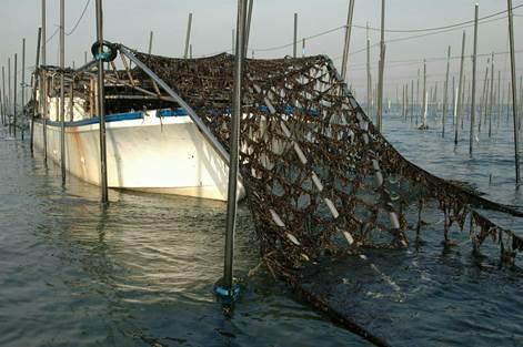 海苔網についた生育した海苔。これが刈り取られ、さまざまな工程を経て食卓に。