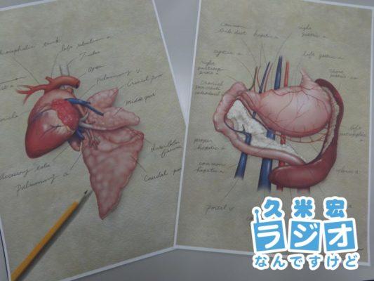 臓器のイラスト